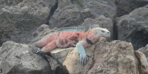 Muchas variedades de Iguana que cambian de Isla en Isla, algunas ni siquiera fueron descubiertas por C Darwin