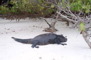 Iguanas gigantes en Tortuga Bay