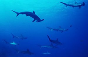 Tiburones martillo, otro de los compañeros de buceo posibles